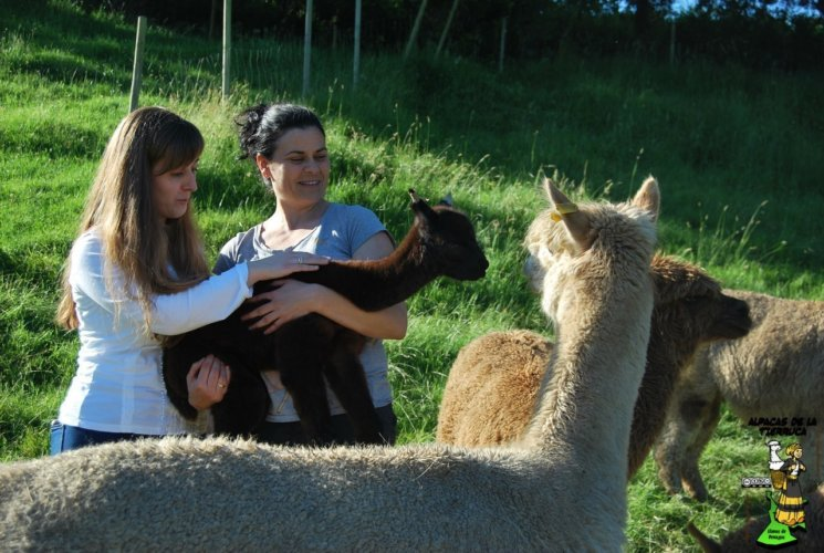 Alpacas de la tierruca